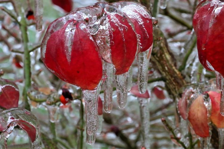 Icicles Icicles Up Close Ice Storm Nature Winter Cold Temperature Plants No People Close-up Icicle Outdoors Beauty In Nature Focus On Foreground Ice Red Frozen