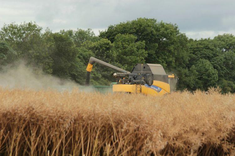 Harvesting Oilseed Rape Field