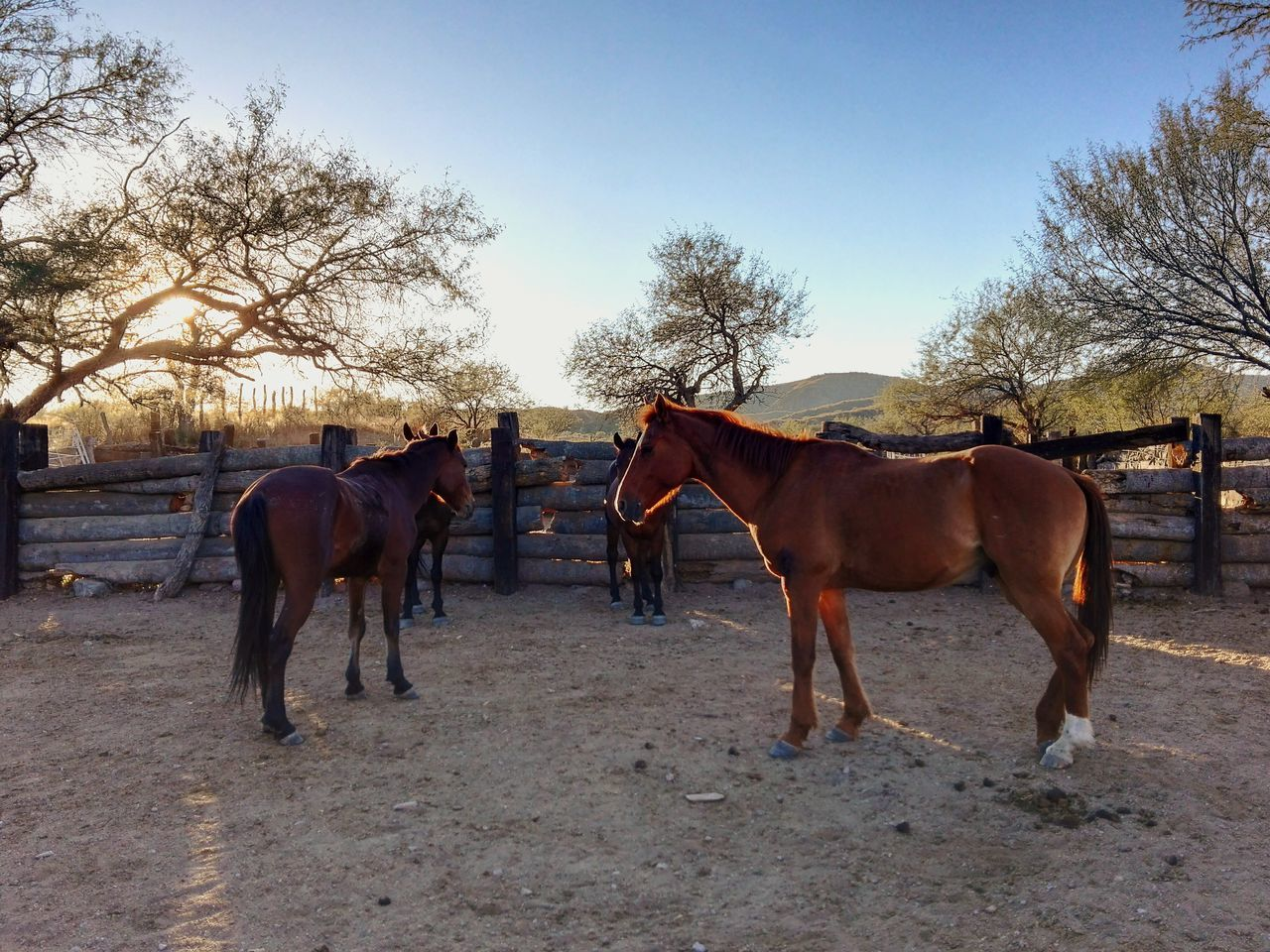 horse, domestic animals, animal themes, working animal, mammal, tree, livestock, two animals, herbivorous, day, field, horseback riding, outdoors, sky, nature, landscape, full length, clear sky, no people