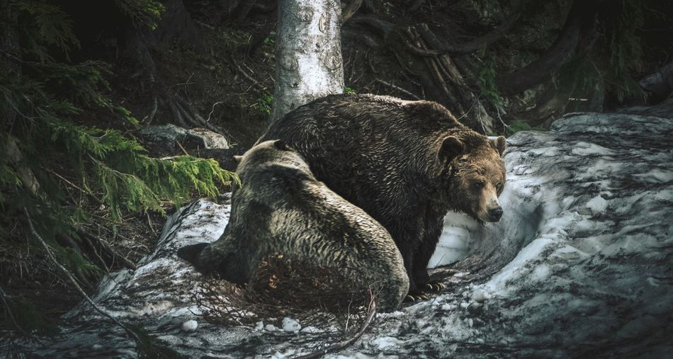 Grizzly bears in a snowy forest hollow