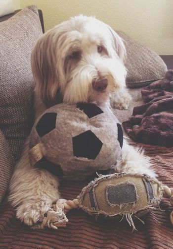 Bearded Collie Viby Germany Vs. USA ????Soccer Worldcup