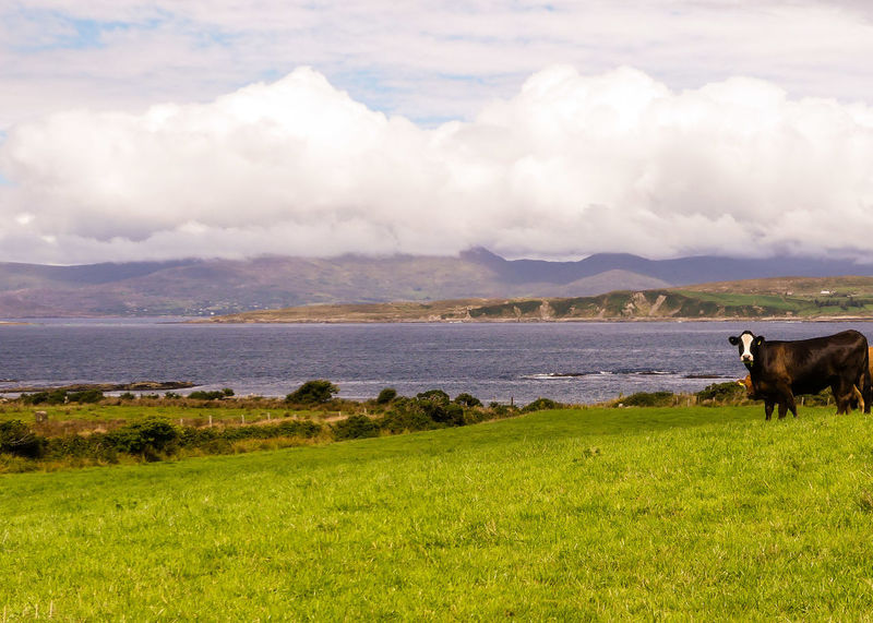 Ireland Beara Peninsula Horizon Over Sea Beara Way Eyeries Water Pets Sea Mountain Rural Scene Sky Grass Landscape Cloud - Sky Grazing Grass Area Cow Farm Animal Scenics