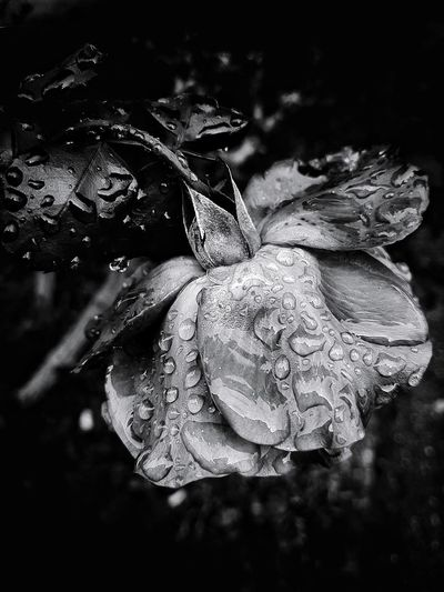 after the rain Rose - Flower Rose🌹 Flower Flower Head Wet Wet Flower Romantic Romance Of Nature Beauty In Nature Water Drop Rain Drops Drop Blackandwhite Black And White Black & White Blackandwhite Photography Black And White Photography Bw_collection EyeEm Best Shots - Black + White Close-up Droplet Fragility Petal