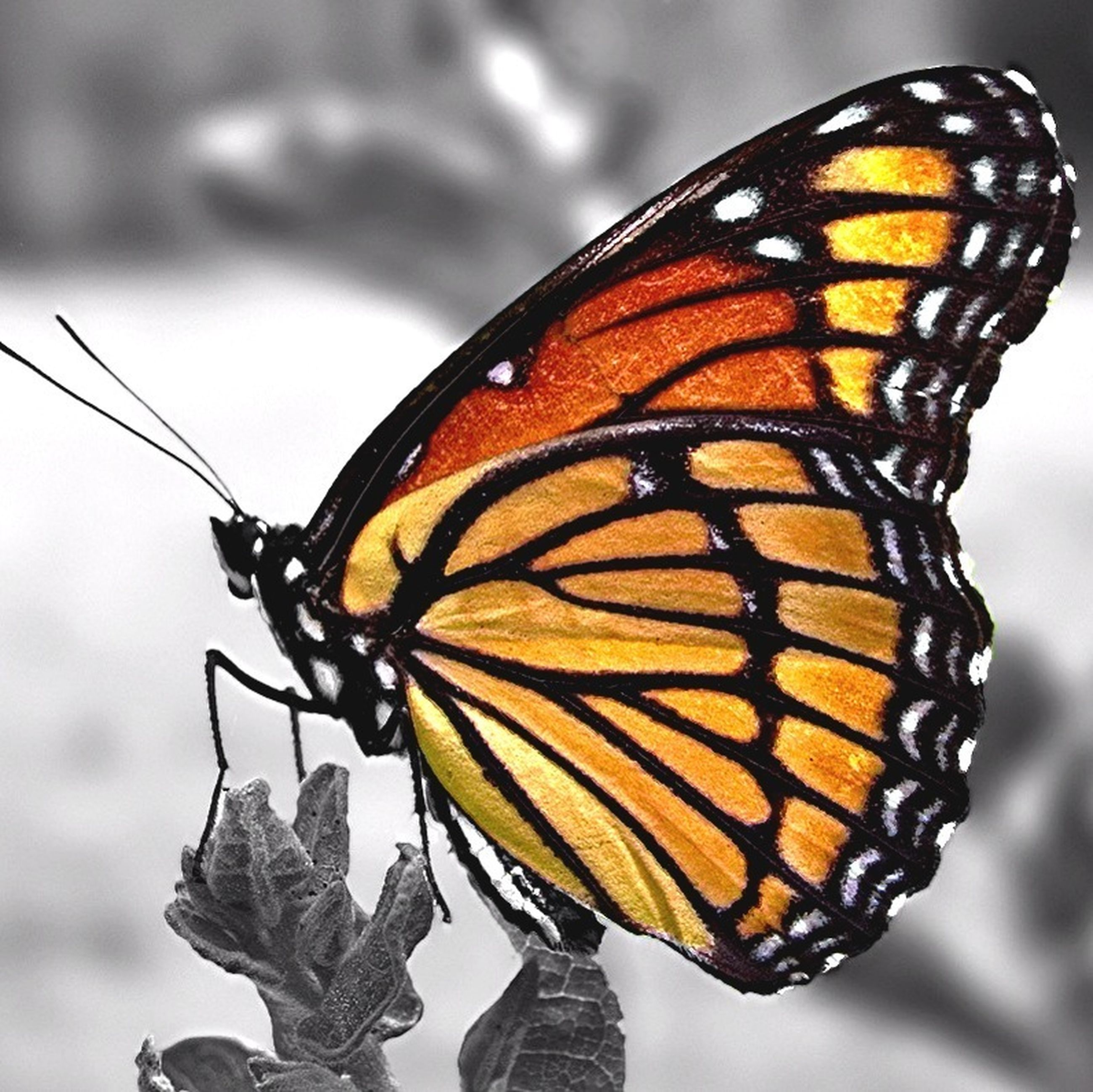 butterfly - insect, focus on foreground, close-up, one animal, insect, orange color, butterfly, animal markings, animal themes, animals in the wild, natural pattern, animal wing, nature, wildlife, beauty in nature, outdoors, animal antenna, fragility, day, no people