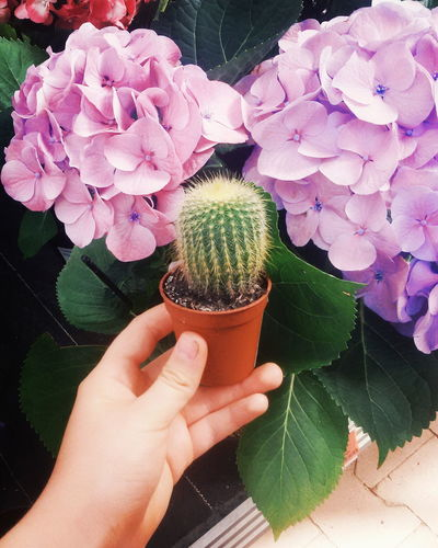 Cropped image of person holding potted cactus plant by purple hydrangea flowers