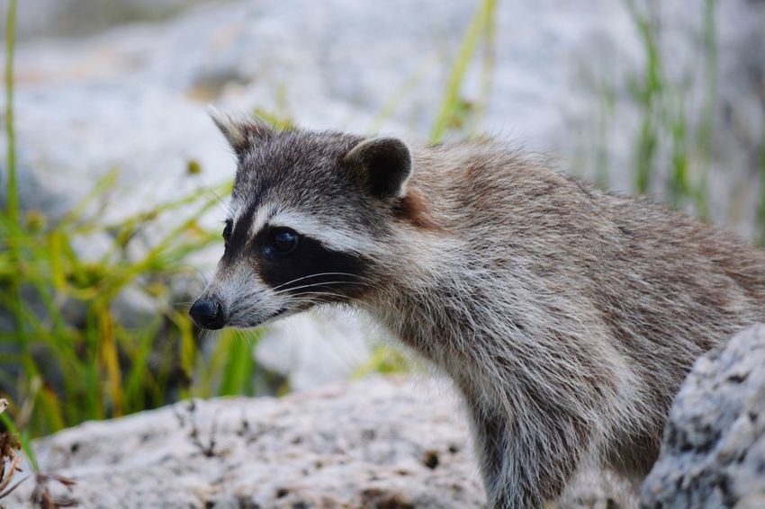 EyeEm Selects One Animal Animals In The Wild Mammal Animal Wildlife Animal Themes Focus On Foreground Day No People Raccoon Outdoors Nature Close-up Riverside