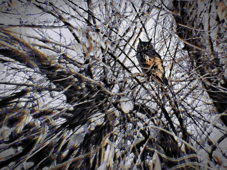 Bird Watching Cold Temperature Great Horned Owl Juvinile Nature One Animal Outdoor Owl Unconcerned What Are YOU Looking At? Winter Wyoming Zoology