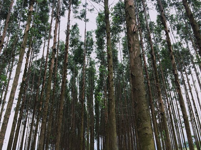 Tree Tree Trunk Forest Nature Pine Tree Pinaceae Low Angle View Beauty In Nature Day Sky Tranquility WoodLand No People