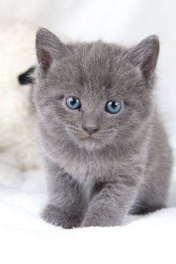 Close-up portrait of kitten on white textile