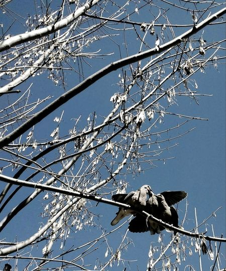 Three pigeon Suny Day Grey Pigeons Winter Tree Branch Blue Sky Close-up Twig Cold