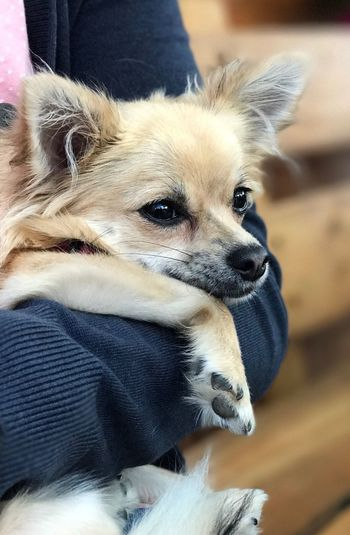 Dog Pets Domestic Animals One Animal Animal Themes One Person Mammal Sitting Close-up Indoors  Human Body Part Real People Day Human Hand People Chiahuaha Sweet Pet Portraits