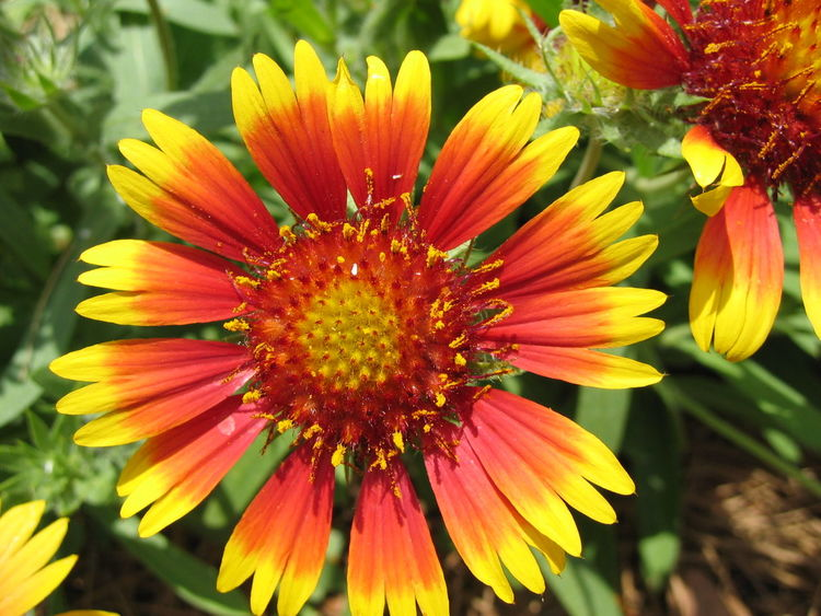 Beauty In Nature Blooming Bright And Bold Bright Colors Close-up Composite Flower Day Flower Flower Head Fragility Freshness Gazania Growth Nature No People Outdoors Petal Plant Pollen Radial Summer Sunburst Yellow And Red