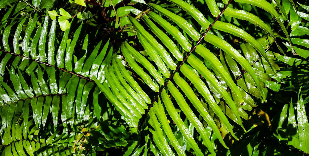 wet ferns from afternoon rain shower. Forest Ground Cover Rain Rainy Day Leaf Full Frame Backgrounds Close-up Green Color Plant Frond Fern Foliage Lush Shrub Dense Garden Flora Green Botanical Leaf Vein Greenery Lush - Description Leaves Plant Life