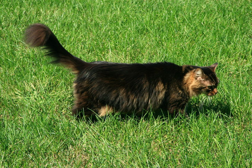 Indoor Out Door C Tabyy Cat Aggies Animal Themes Day Domestic Animals Feline Field Grass Green Color Mammal Nature No People One Animal Outdoors Pets