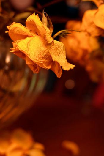 EyeEm Best Shots EyeEm Gallery Paint The Town Yellow The Week On EyeEm Blooming Dead Flowers Deadhead Flower Flower Head Fragility Nature Petal Rose - Flower Yellow