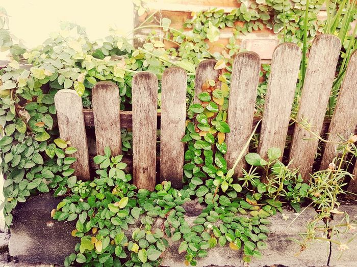 Leaves on fench Plant Growth Front Or Back Yard Ivy Leaf Tree Green Color Nature Beauty In Nature Freshness