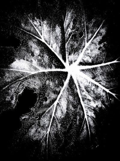 hoja Leaf