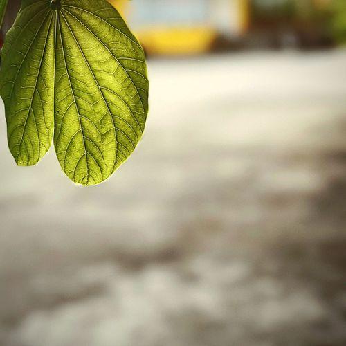 ใบไม้ Leaf Focus On Foreground Growth Nature Plant Outdoors Close-up Green Color Day Beauty In Nature No People Freshness Fragility Water Sky