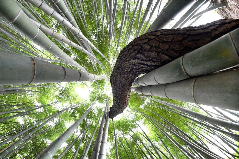 Bamboo and pine trees live together. Oriental Style Oriental Towards The Sky Forest Forest Photography Green Korea Photos Korea Tradition Korea Together Pine Tree Pine Bamboo Frame Bamboo Forest Bamboo Tree Tree Trunk Forest Growth Nature Day Branch Green Color Outdoors Bamboo Grove Bamboo - Plant No People Leaf Beauty In Nature Low Angle View