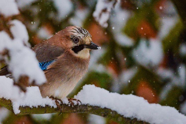 Rare visitor Winter Snow Bird Cold Temperature Nature Animal Wildlife One Animal Close-up Animals In The Wild No People