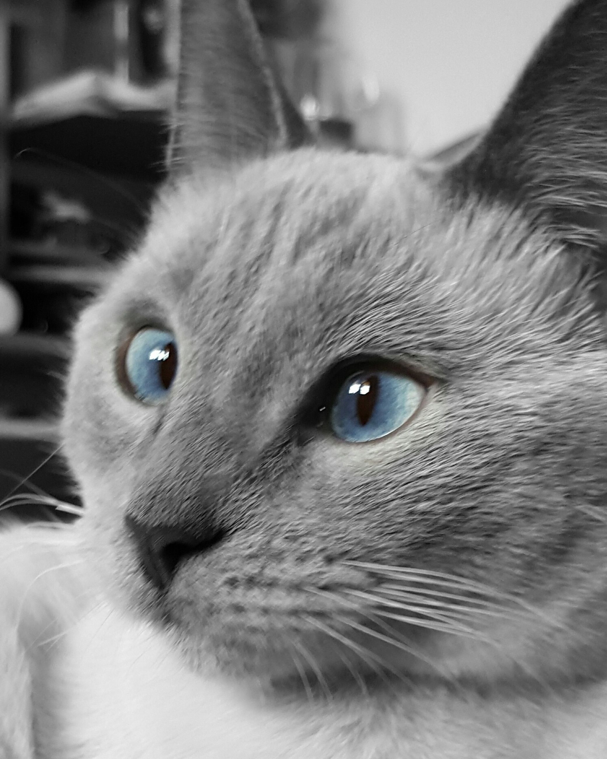 domestic cat, pets, domestic animals, feline, one animal, animal themes, cat, whisker, looking at camera, portrait, mammal, close-up, animal head, indoors, blue eyes, domestic, no people, kitten, siamese cat, persian cat, day