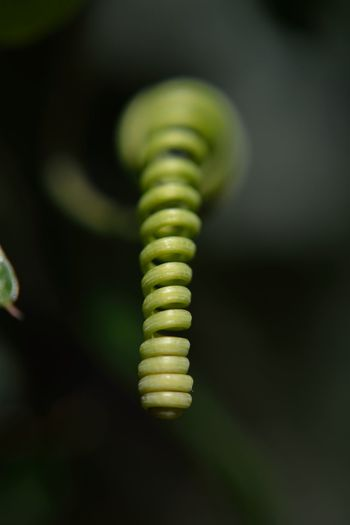 The Spiral Green Color Close-up Growth No People Fern Selective Focus Spiral Plant Nature Focus On Foreground Beauty In Nature Day Pattern Curled Up Outdoors Plant Part Leaf Tendril Swirl Natural Pattern Macro Photography Macro_collection Macro Nature EyeEm Selects EyeEm Best Shots