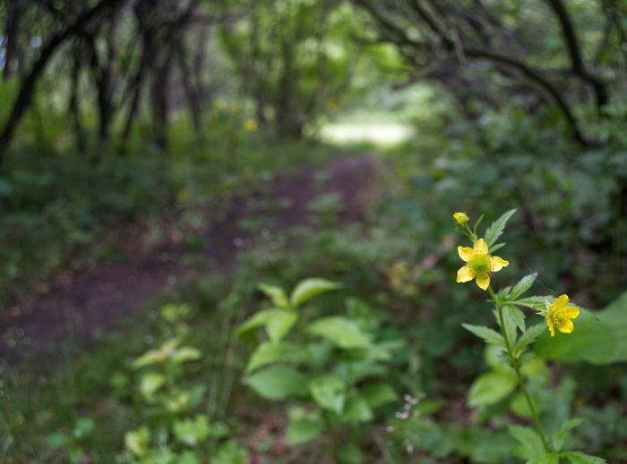 Trees Trail Path Pathway Forestwalk Forest Plant Flower Flowering Plant Beauty In Nature Growth Freshness Fragility Nature Close-up Green Color No People Yellow Focus On Foreground Day Flower Head Outdoors