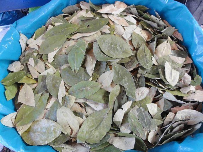 Coca Leaves Peru