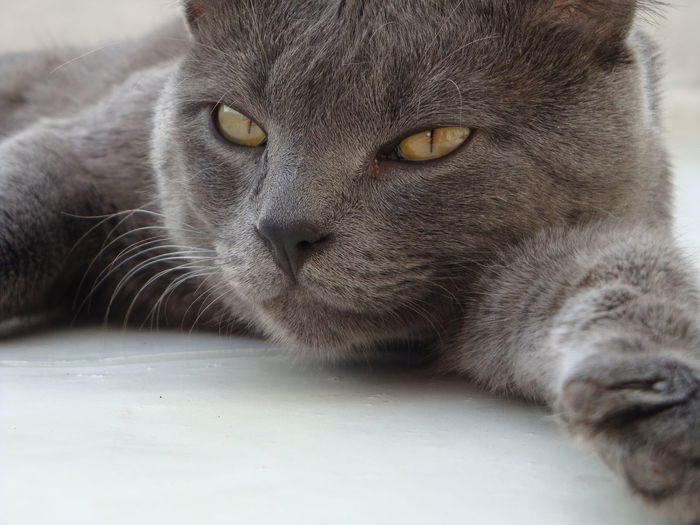 Close-up portrait of shorthair cat relaxing on white floor at home