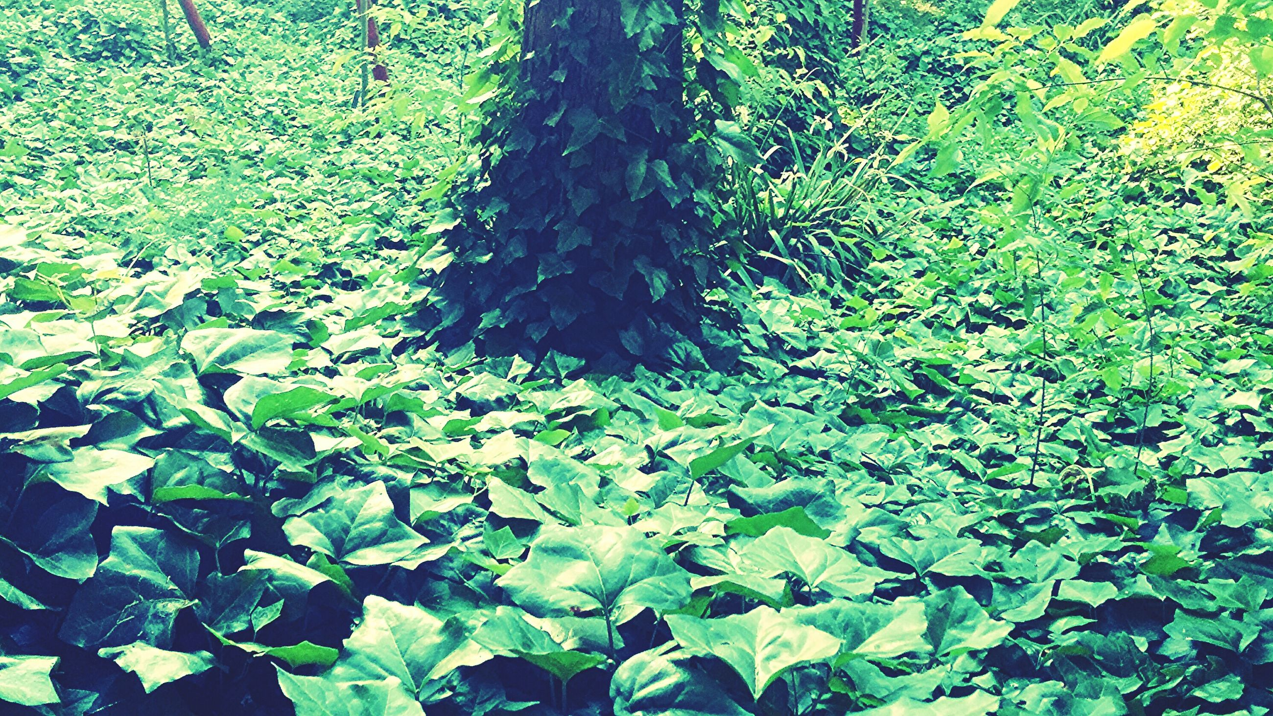 growth, leaf, green color, plant, nature, high angle view, full frame, beauty in nature, backgrounds, tranquility, field, day, outdoors, growing, lush foliage, leaves, no people, green, freshness, sunlight
