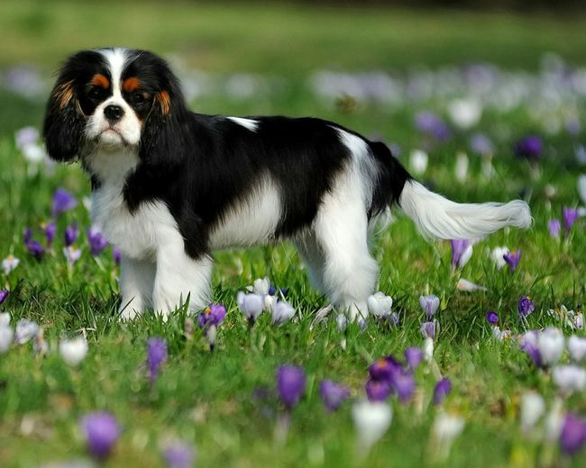 Beautiful Cavalier and Absolutely Amazing Spring Flowers Ckcs Cavalier King Charles Spaniel Tricolor Spring Flowers Springtime