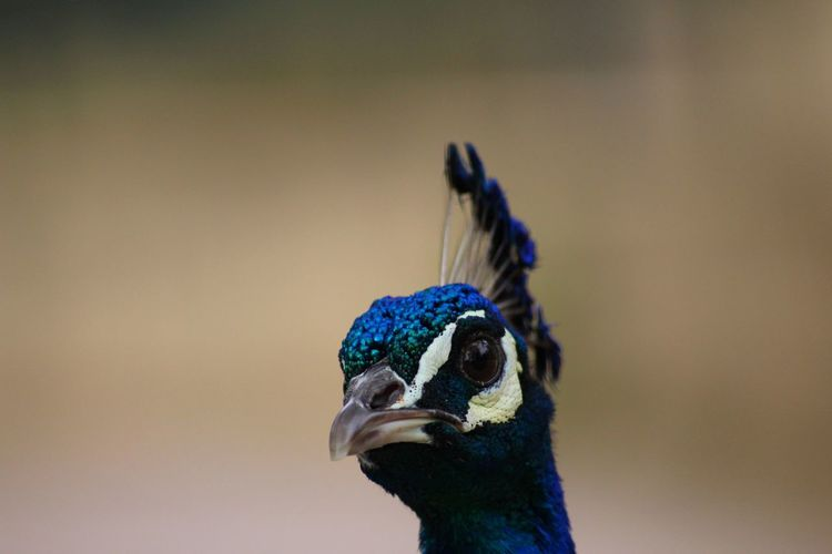Close-up portrait of a peacock