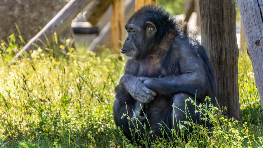 Schimpanse Sitting Ape Close-up Grass Monkey Primate Zoo Captivity
