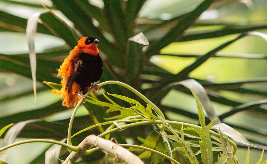 Male Northern red bishop Euplectes franciscanus is an orange and black bird found in Senegal and Kenya Euplectes Franciscanus Northern Red Bishop Red Bishop Animal Themes Animals In The Wild Avian Beauty In Nature Bird Day Nature No People One Animal Orange Bird Outdoors Perching