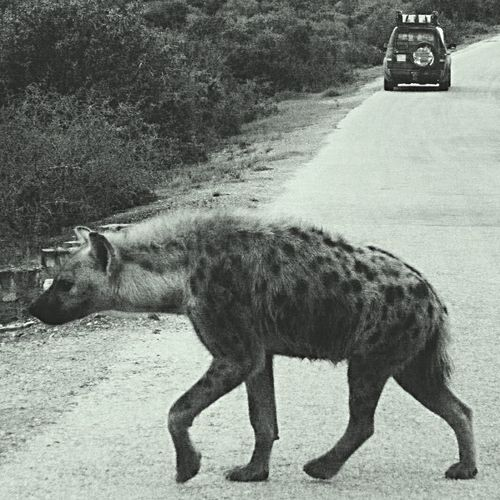 Addoelephantpark Safari Addo Southafrica Spottedhyena took this dec 2014 5:30am first time on a safari and this spotted hyena strolled in front of the car, it's much bigger than it looks... Epic Amazing_captures