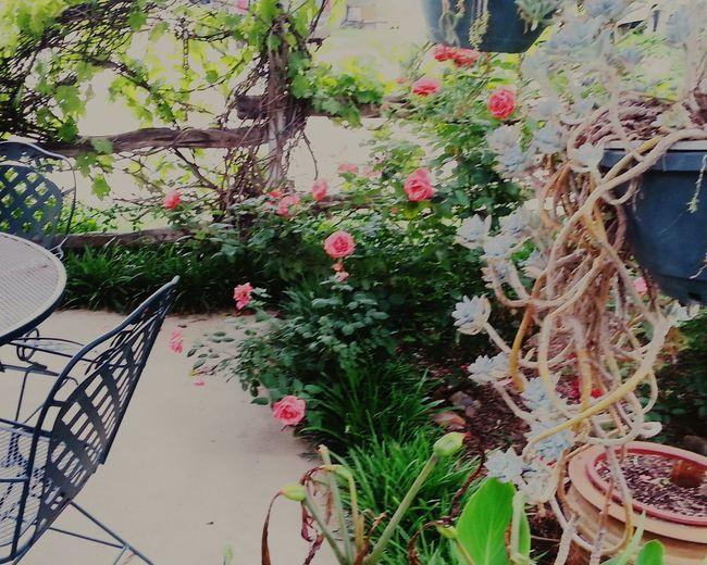 In The Garden Springntexas Roses Are Red Follow Me Bright Nature's Art RosePorn )(
