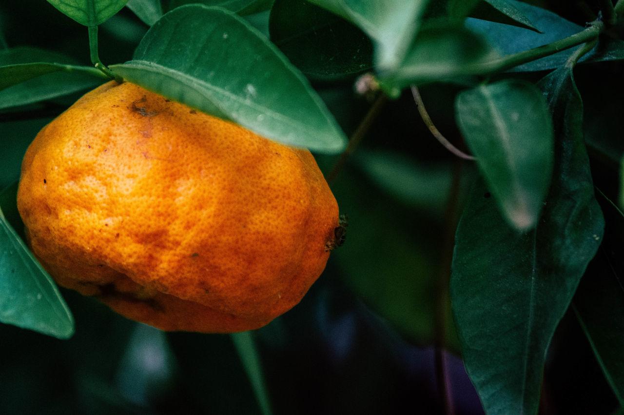 CLOSE-UP OF FRESH ORANGE FRUIT