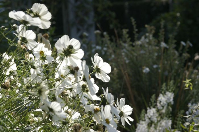 cosmos, white flowers Freshness Flower Fragility Beauty In Nature White Color In Bloom Flower Collection