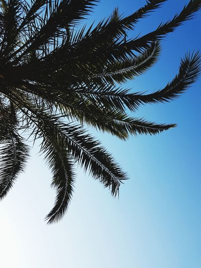 Palm Tree Clear Sky Blue