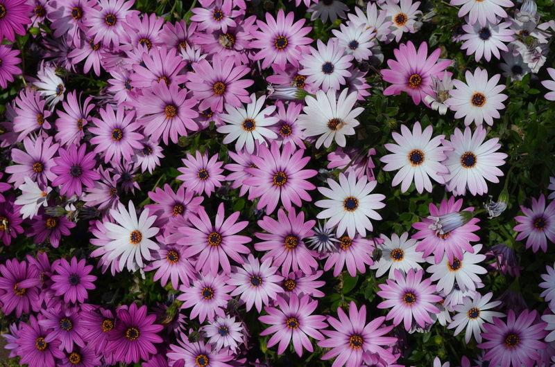 High angle view of purple flowers