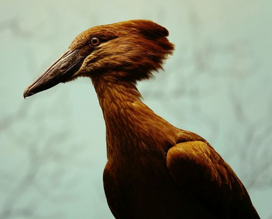 Bird One Animal Brown Close-up No People Nature Beak Day Animal Themes Profile Hamerkop Brown Color