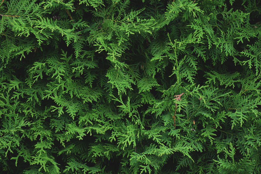 Backgrounds Beauty In Nature Close-up Day Directly Above Foliage Food And Drink Freshness Full Frame Green Color Growth Leaf Lush Foliage Nature No People Outdoors Pattern Plant Plant Part Tree