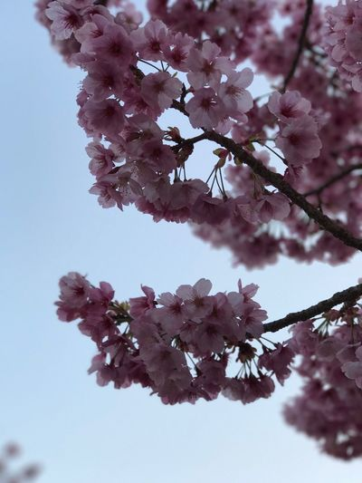 Flower Growth Tree Nature Beauty In Nature Freshness Fragility Low Angle View In Bloom Branch Blossom Springtime Petal Sky Twig Close-up No People Pink Color Outdoors Blooming