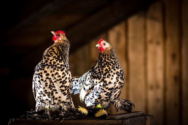 Close-up of hens perching on table in barn