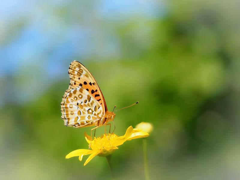 今日も柔らかな笑顔と心で… ヒョウモンチョウ 蝶々 Butterfly Collection Butterfly - Insect Insect Collection Taking Photos EyeEm Nature Lover EyeEm Best Shots My Point Of View Eyemphotography EyeEm Gallery Beauty In Nature Flower Collection EyeEm Best Shots - Nature