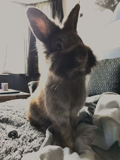 Pet Portraits One Animal Sitting Indoors  IPhoneography Love ♥ New Bunny 🐰 Poser ❤ Gorgeous Girl