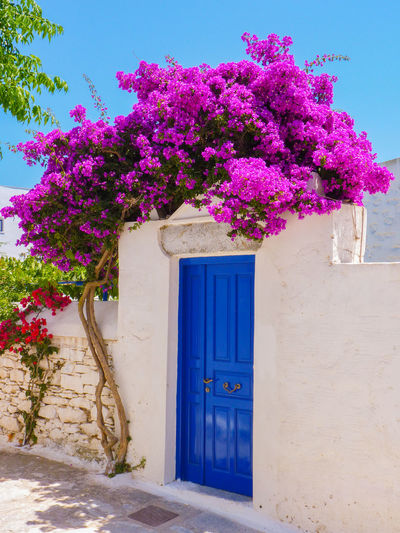 Chora the Capital of Amorgos Island, Cyclades, Greece Aegean Amorgos Architecture Blue Built Structure Chora Closed Colorful Cyclades Day Door Entrance Flower Flowers Greece Growth House Mediterranean  Nature No People Pink Color Plant Purple Summer White