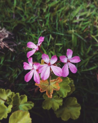 Flower Nature Freshness Flower Head Petal Beauty In Nature Fragility Pink Color Growth Plant No People Blooming Close-up Outdoors Periwinkle Day First Eyeem Photo