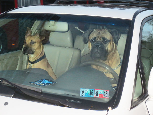 Dogs Driving Dogs In Cars Dogslife