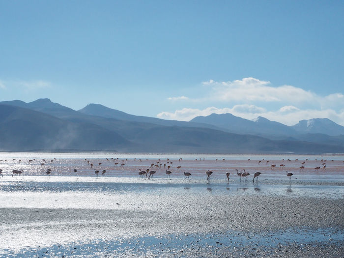 Flamingos in the Bolivian desert. Animal Animal Themes Animal Wildlife Animals In The Wild Beauty In Nature Group Of Animals Land Large Group Of Animals Mountain Mountain Range Nature No People Non-urban Scene Salt Flat Scenics - Nature Sky Vertebrate Water